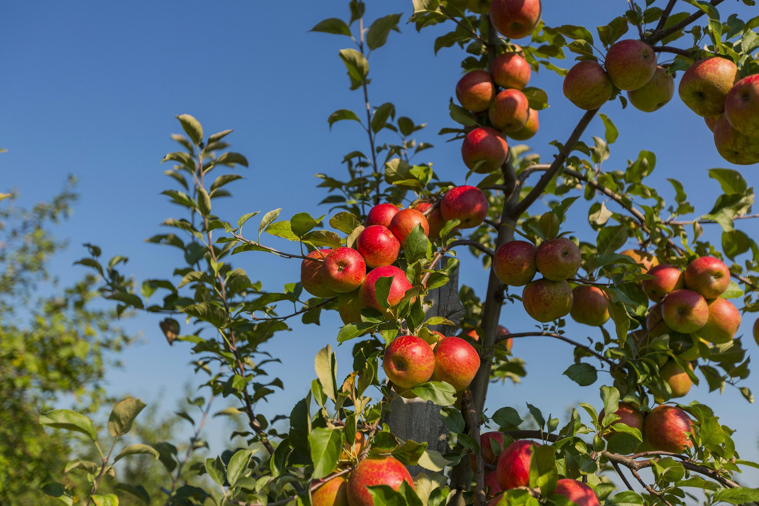 Pommes chez Qui sème récolte