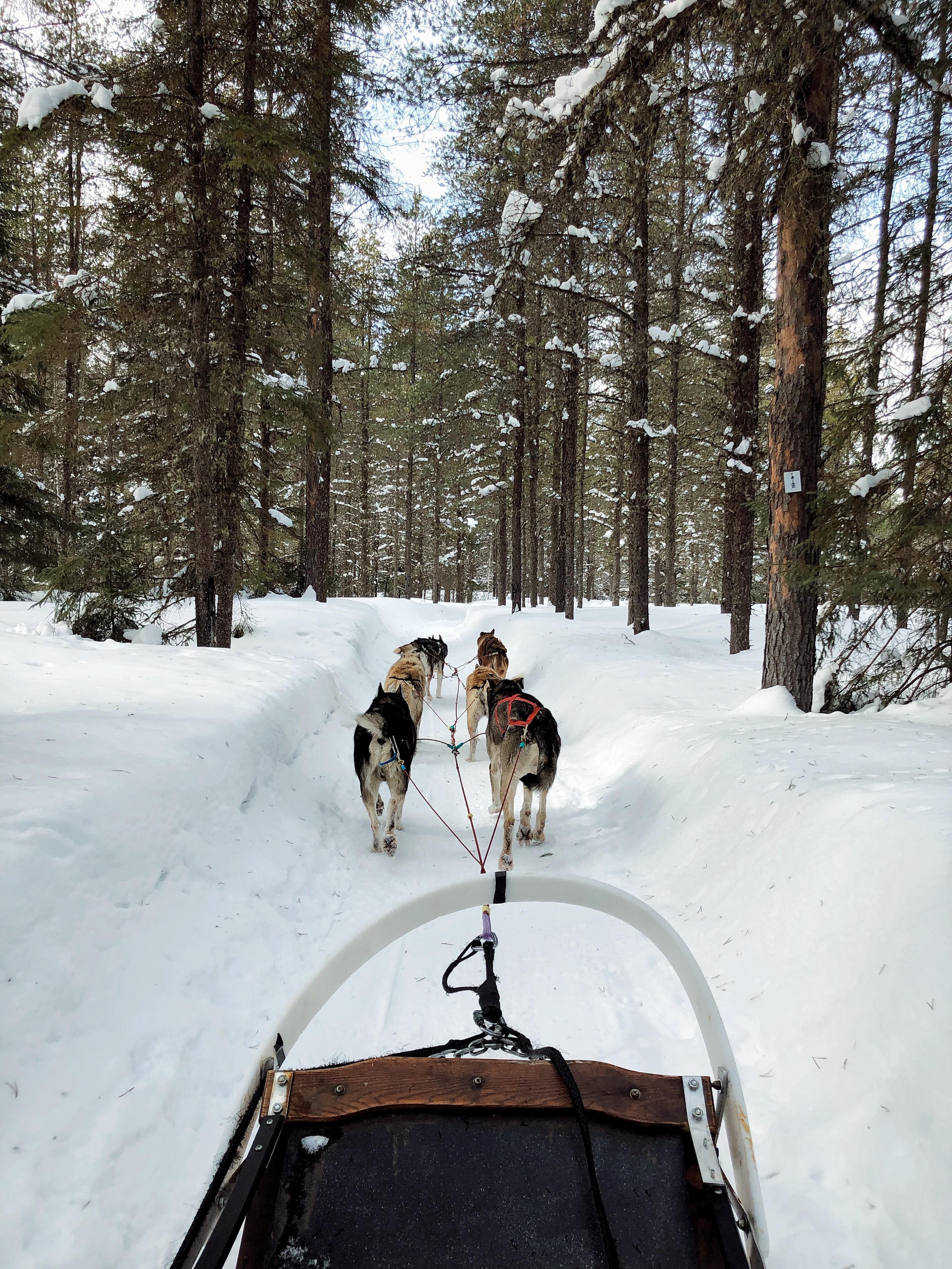 Traîneau à chiens à l'Auberge du Lac Taureau